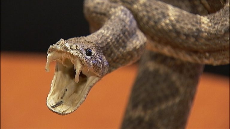 Nigerian clinic records 430 cases of snakebite in 8 months