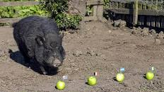 World Cup: Nigeria will get to semi-finals, magical pig predicts